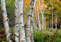 Birch Trees in Autumn, Maine