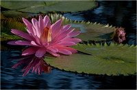 Water Lily, Missouri Botanical Garden