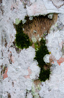 Lichens on Tree Trunk, Vinales, Cuba