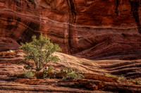 Lone Tree, Sedona, Arizona