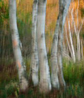 Blurry Birch